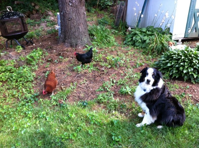 Chicken and other pets
