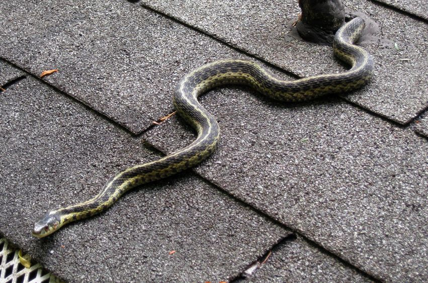 how to keep snakes away - snake on roof