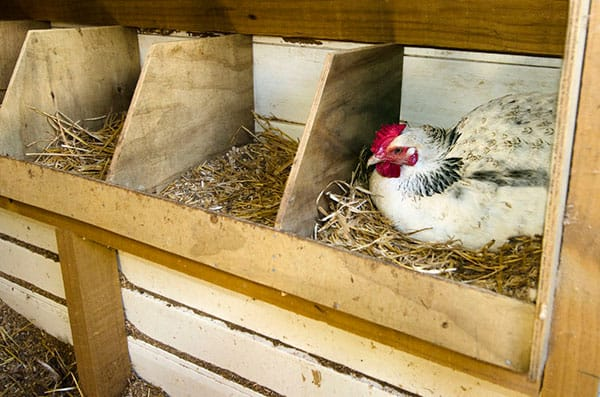 best chicken coop bedding - chicken laying eggs in nesting box