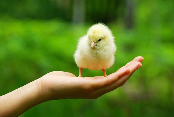 Baby Chick from Chicken Egg Incubator