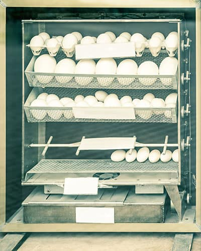 a larger chicken egg incubator