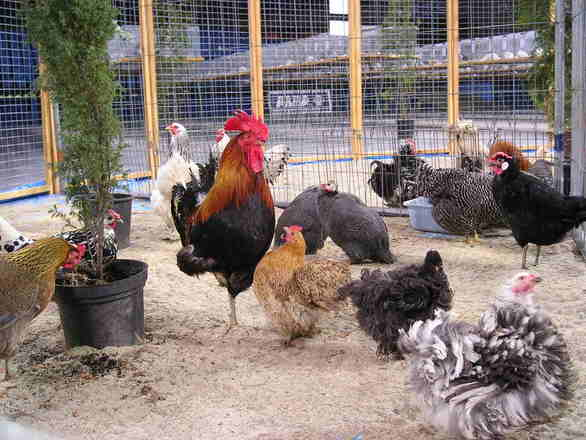 chicken-poultry