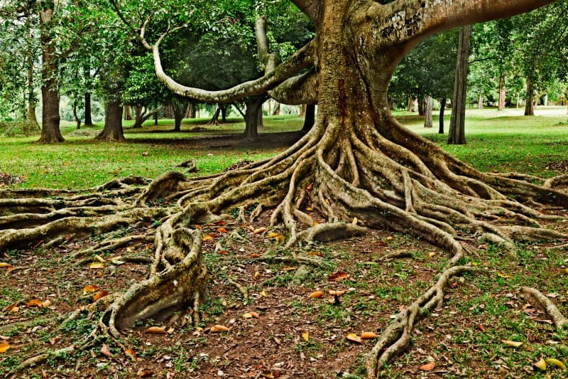 How to Start a garden - tree roots causing grass to die