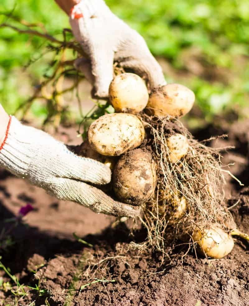 Best Garden Gloves - Potatoes pulled straight from the ground with gloves on
