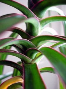 Red_Edged_Dracaena