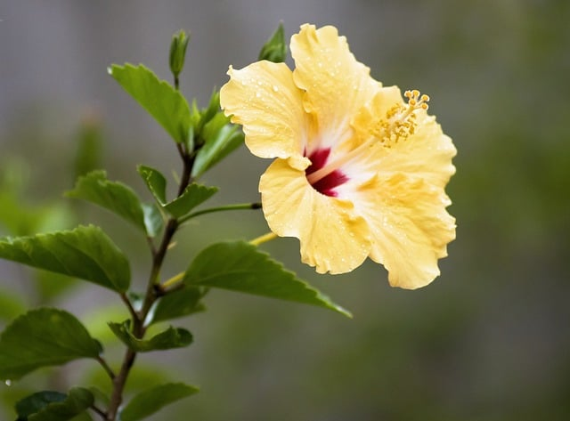 What to Grow in June - Hibiscus