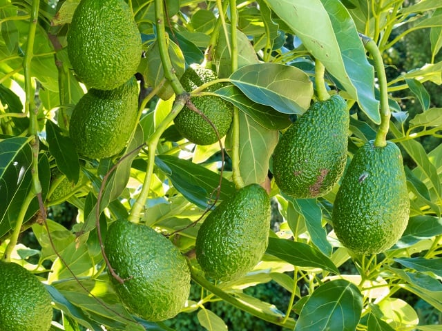 What to Plant in June - Avacados