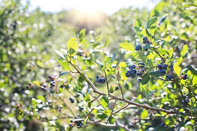 What to Plant in June - Blueberries