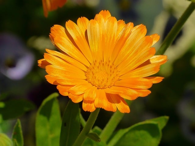 What to Plant in June - Calendula - Marigold