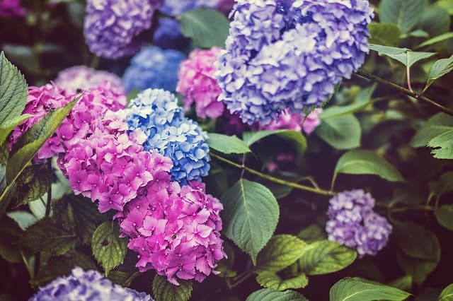 What to Plant in June - Hydrangea
