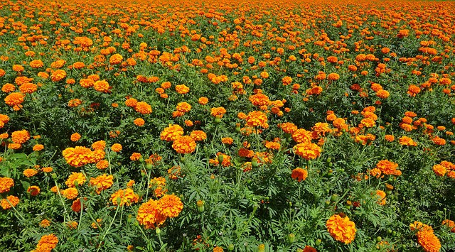 What to Plant in June - Marigold