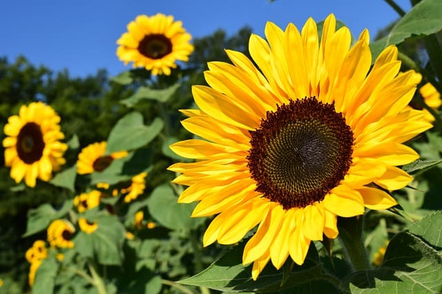 What to Plant in June - Sunflower