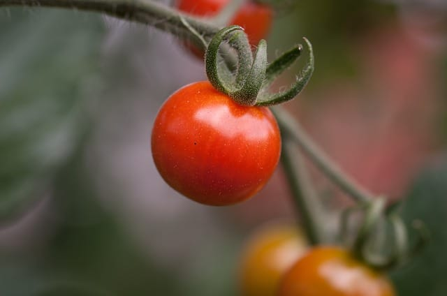What to Plant in June - Tomatoes