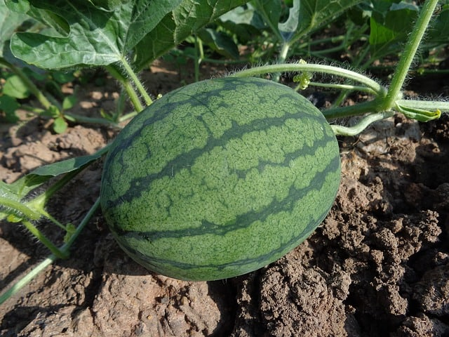 What to Plant in June - Watermelon