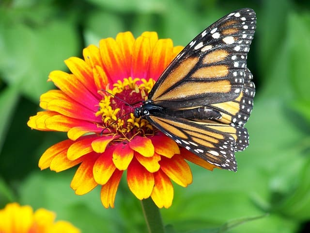 What to Plant in June - Zinnias