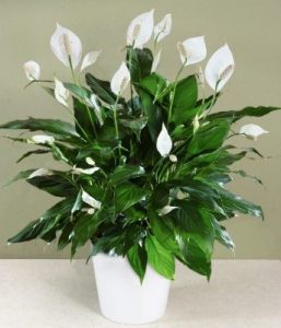 peace_lily_plant