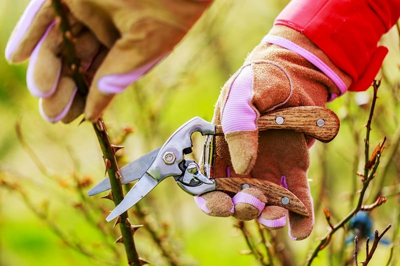 Spring pruning roses in the garden with secateurs