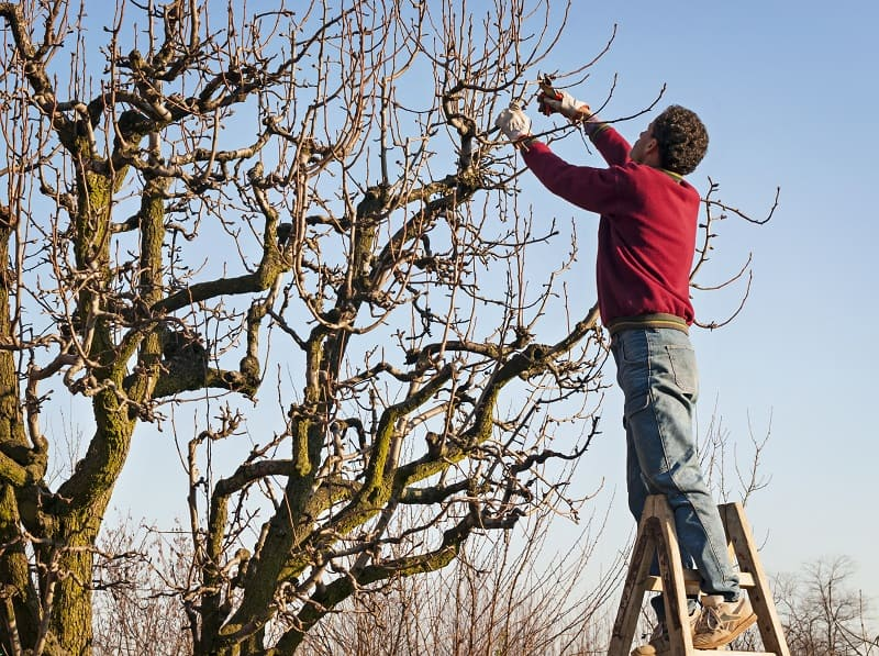 Best Secateurs - pruning a large tree