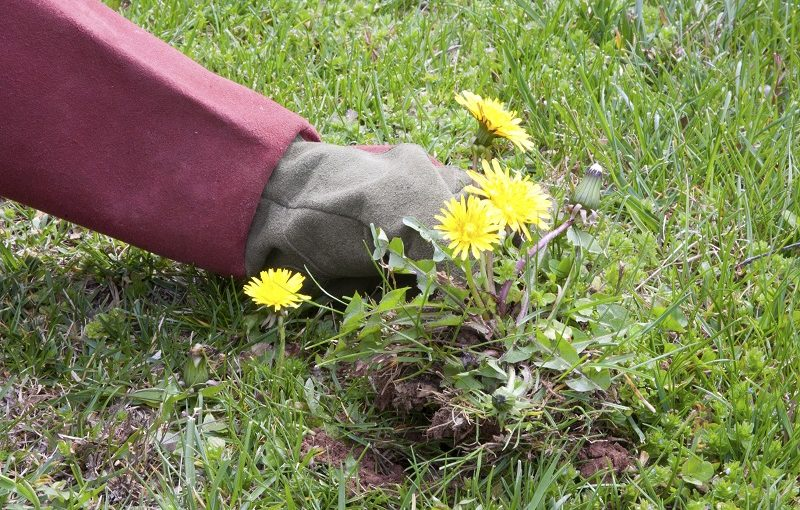 Best Weeding Tools - Pulling out dandelions
