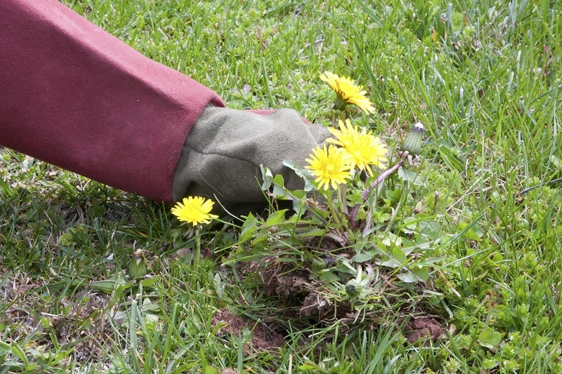 Pulling out dandelions weeds with just a glove