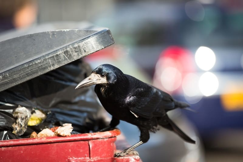 Raven feeding on rubbish from a rubbish bin in a city