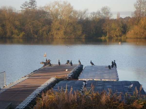 Cormorants-on-a-pontoon