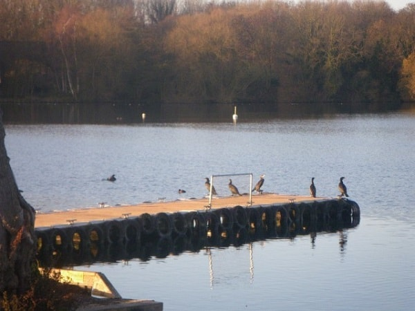 Scare-Away-Cormorants