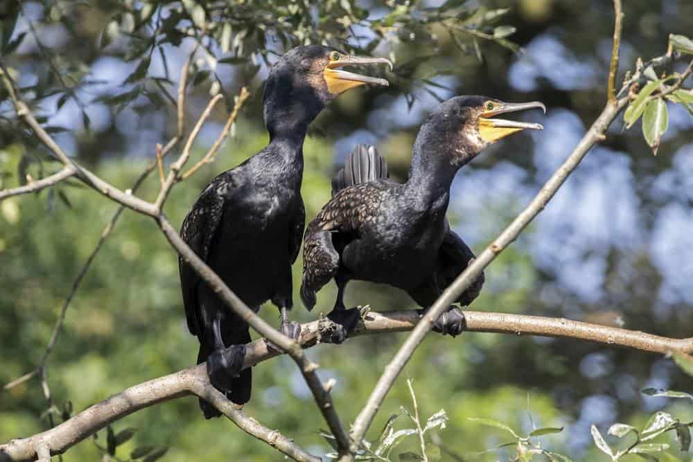 Two Cormorants on a tree - how to scare them off?